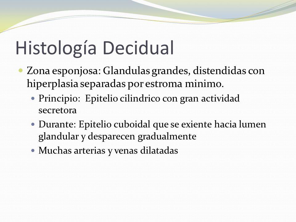 Histología Decidual Zona esponjosa: Glandulas grandes, distendidas con hiperplasia separadas por estroma minimo. Principio: Epitelio cilindrico con gr