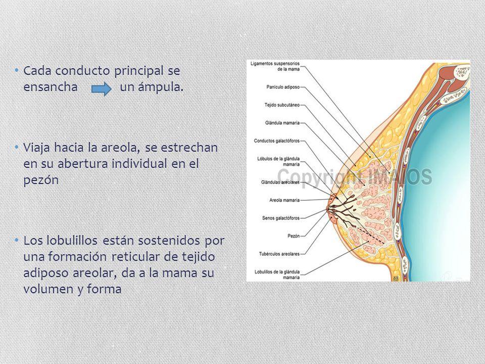 Cada conducto principal se ensancha un ámpula. Viaja hacia la areola, se estrechan en su abertura individual en el pezón Los lobulillos están sostenid