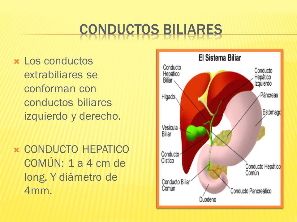 Los conductos extrabiliares se conforman con conductos biliares izquierdo y derecho. CONDUCTO HEPATICO COMÚN: 1 a 4 cm de long. Y diámetro de 4mm.