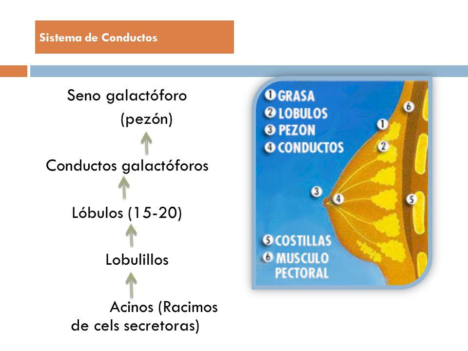 Sistema de Conductos Seno galactóforo (pezón) Conductos galactóforos Lóbulos (15-20) Lobulillos Acinos (Racimos de cels secretoras)