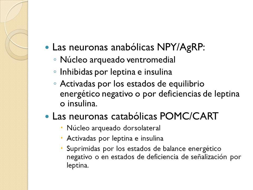 Las neuronas anabólicas NPY/AgRP: Núcleo arqueado ventromedial Inhibidas por leptina e insulina Activadas por los estados de equilibrio energético neg