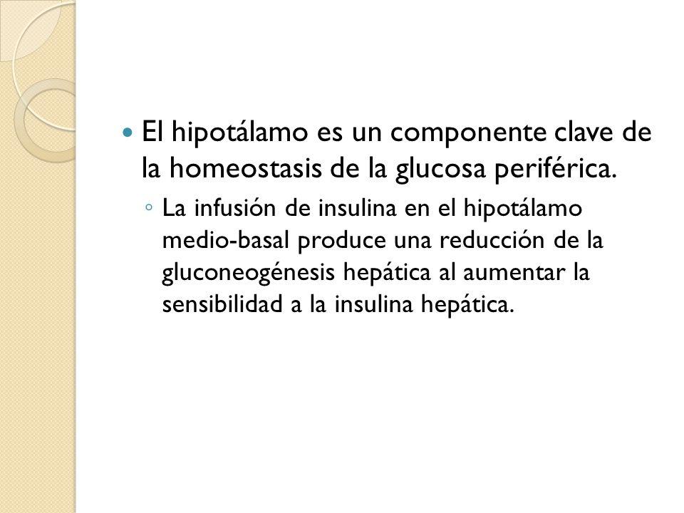 El hipotálamo es un componente clave de la homeostasis de la glucosa periférica. La infusión de insulina en el hipotálamo medio-basal produce una redu