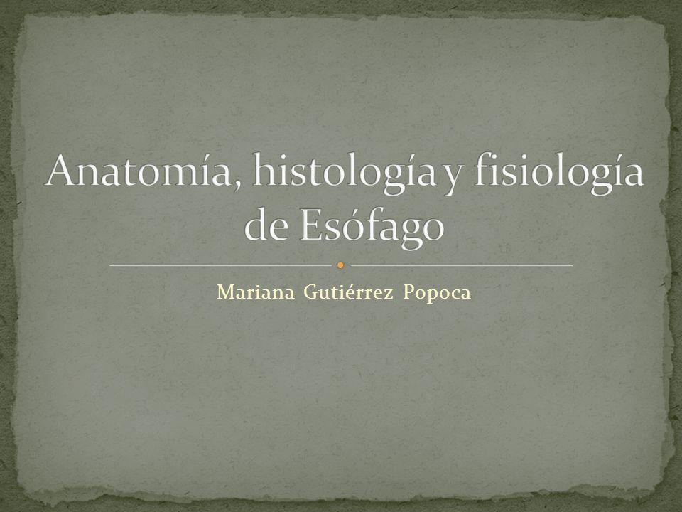 Mucosa: epitelio escamoso estratificado, lamina propia y capa de musculo liso (muscularis mucosae) en sentido longitudinal Submucosa: contienen las glándulas esofágicas.