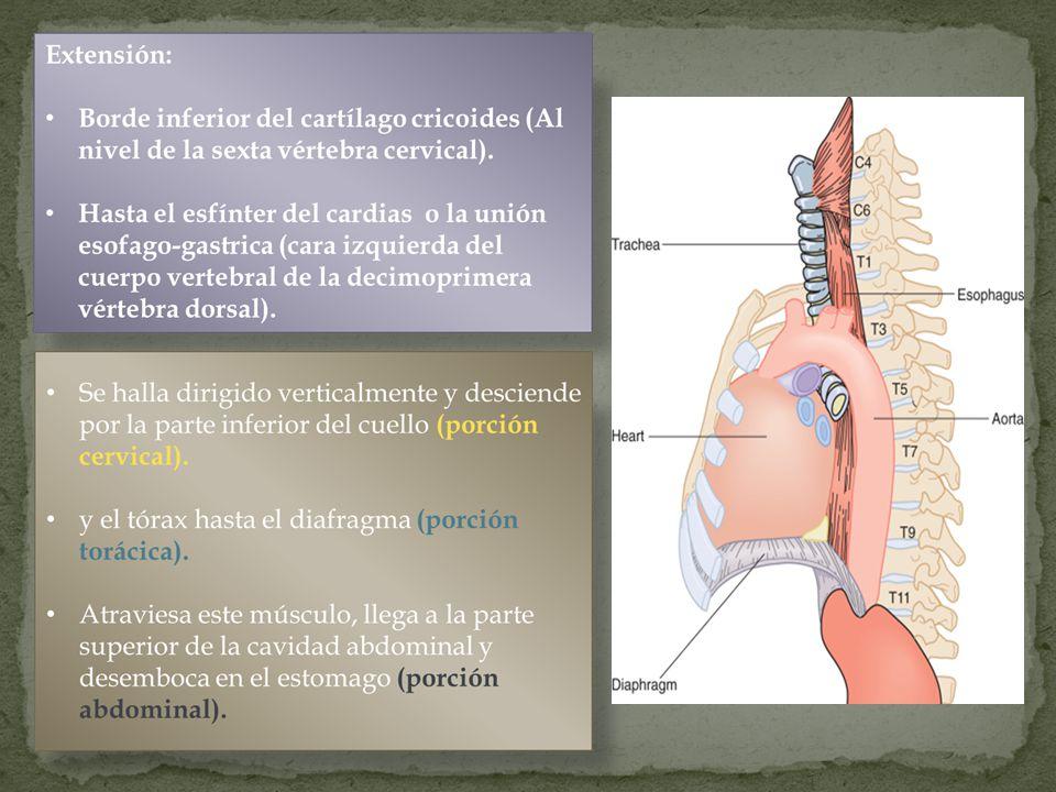 Cervical Desde el borde inferior del cricoides hasta la escotadura esternal.