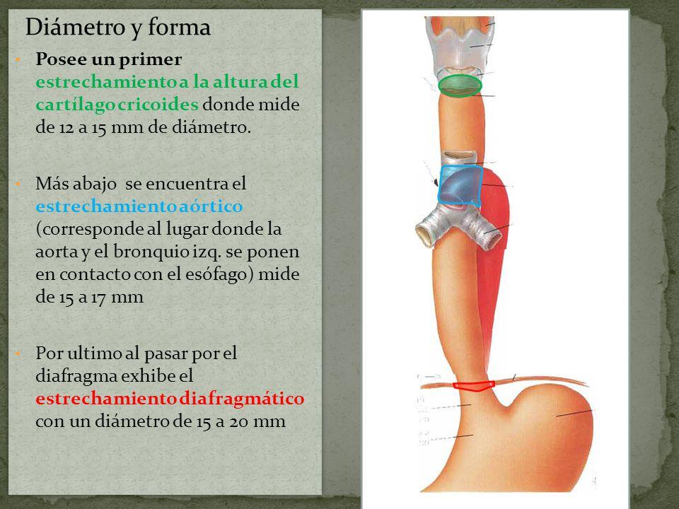 El esófago esta envuelto por una capa celulosa, continuación de la capa peri-faríngea por la cual establece relaciones con otros órganos: Porción cervical: Se relaciona por delante: Con la tráquea, donde se halla cubierta por el cuerpo tiroides, la arteria tiroidea inferior y el musculo esterno-tiroideo.