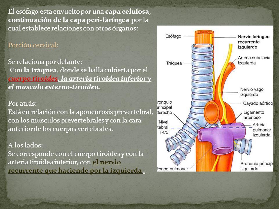 El esófago esta envuelto por una capa celulosa, continuación de la capa peri-faríngea por la cual establece relaciones con otros órganos: Porción cerv
