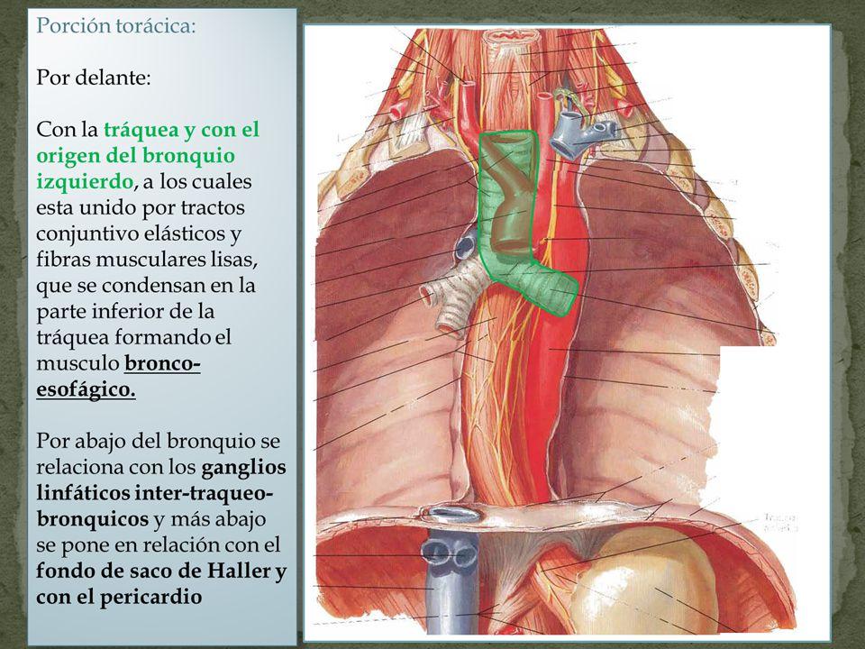 Tratamiento quirúrgico Elección para el localizado margen de resección 10 cm proximales y 5 distales Otros procedimientos Laringoesofagectomia total Esofagectomía transhiatal Esofagectomía por laparotomía media y toracotomía derecha Esofagectomía por laparotomía media y toracotomía derecha y cervicotomia izquierda.