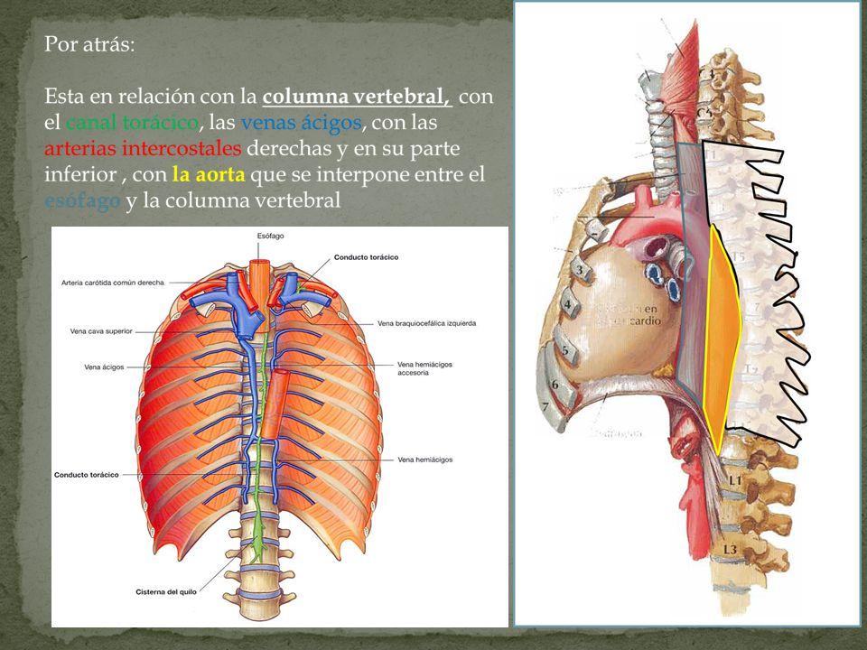 A la derecha: Corresponde a la pleura mediastina y se interpone a nivel de la cuarta vértebra dorsal el cayado de la ácigos, que cruza el esófago para desembocar en la vena cava superior.
