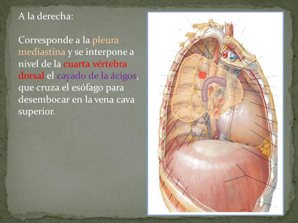 A la derecha: Corresponde a la pleura mediastina y se interpone a nivel de la cuarta vértebra dorsal el cayado de la ácigos, que cruza el esófago para