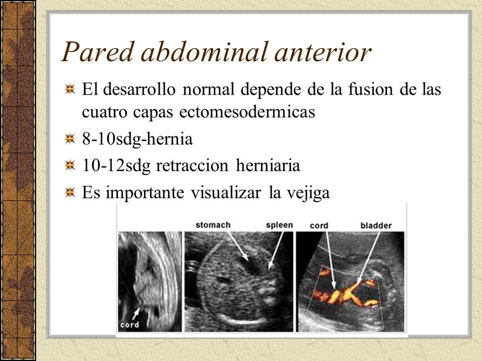 Pared abdominal anterior El desarrollo normal depende de la fusion de las cuatro capas ectomesodermicas 8-10sdg-hernia 10-12sdg retraccion herniaria E