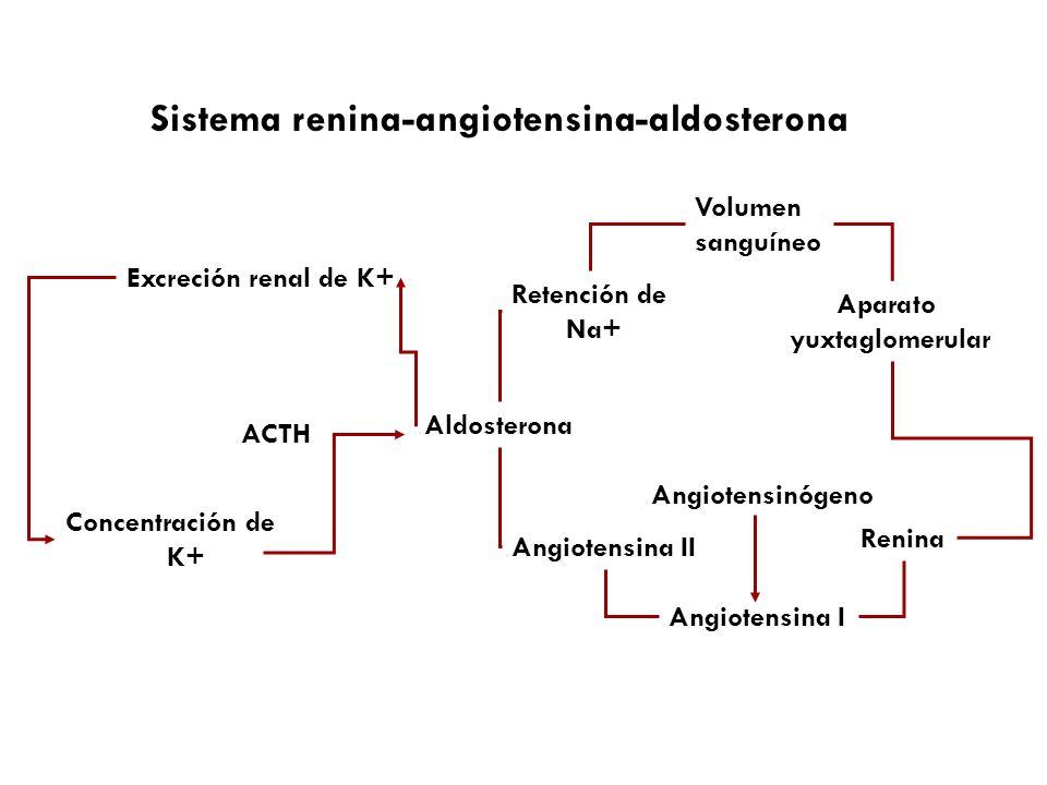 Sistema renina-angiotensina-aldosterona Aldosterona Retención de Na+ Volumen sanguíneo Aparato yuxtaglomerular Renina Angiotensinógeno Angiotensina I