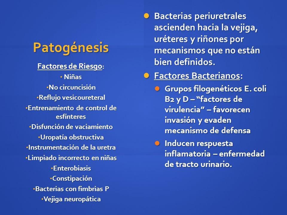 Patogénesis Bacterias periuretrales ascienden hacia la vejiga, uréteres y riñones por mecanismos que no están bien definidos. Bacterias periuretrales