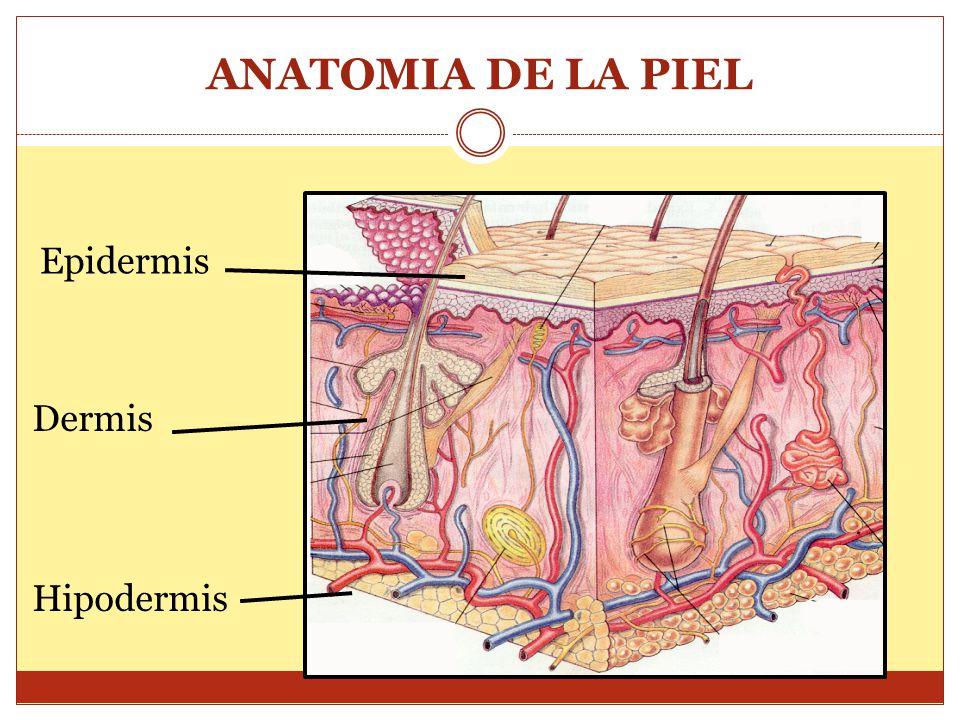 ANATOMIA DE LA PIEL Epidermis Dermis Hipodermis