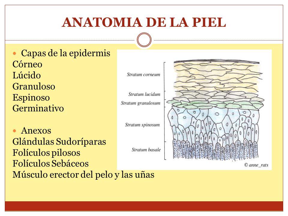 ANATOMIA DE LA PIEL Capas de la epidermis Córneo Lúcido Granuloso Espinoso Germinativo Anexos Glándulas Sudoríparas Folículos pilosos Folículos Sebáce