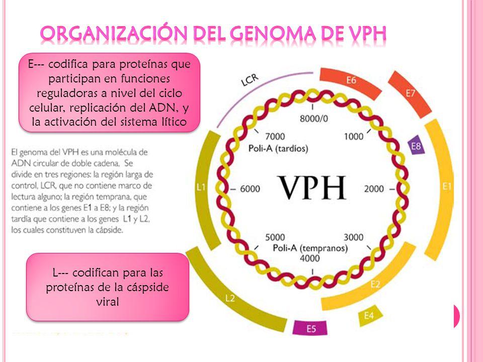 E--- codifica para proteínas que participan en funciones reguladoras a nivel del ciclo celular, replicación del ADN, y la activación del sistema lítico L--- codifican para las proteínas de la cáspside viral