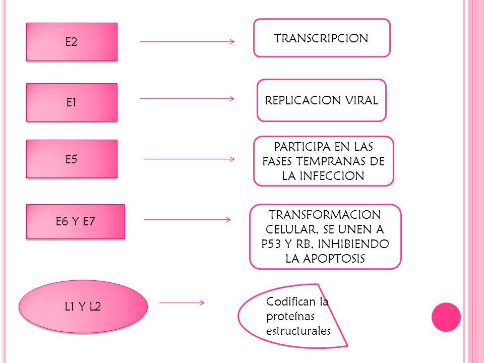 E2 TRANSCRIPCION E1 REPLICACION VIRAL E5 E6 Y E7 PARTICIPA EN LAS FASES TEMPRANAS DE LA INFECCION TRANSFORMACION CELULAR, SE UNEN A P53 Y RB, INHIBIENDO LA APOPTOSIS L1 Y L2 Codifican la proteínas estructurales
