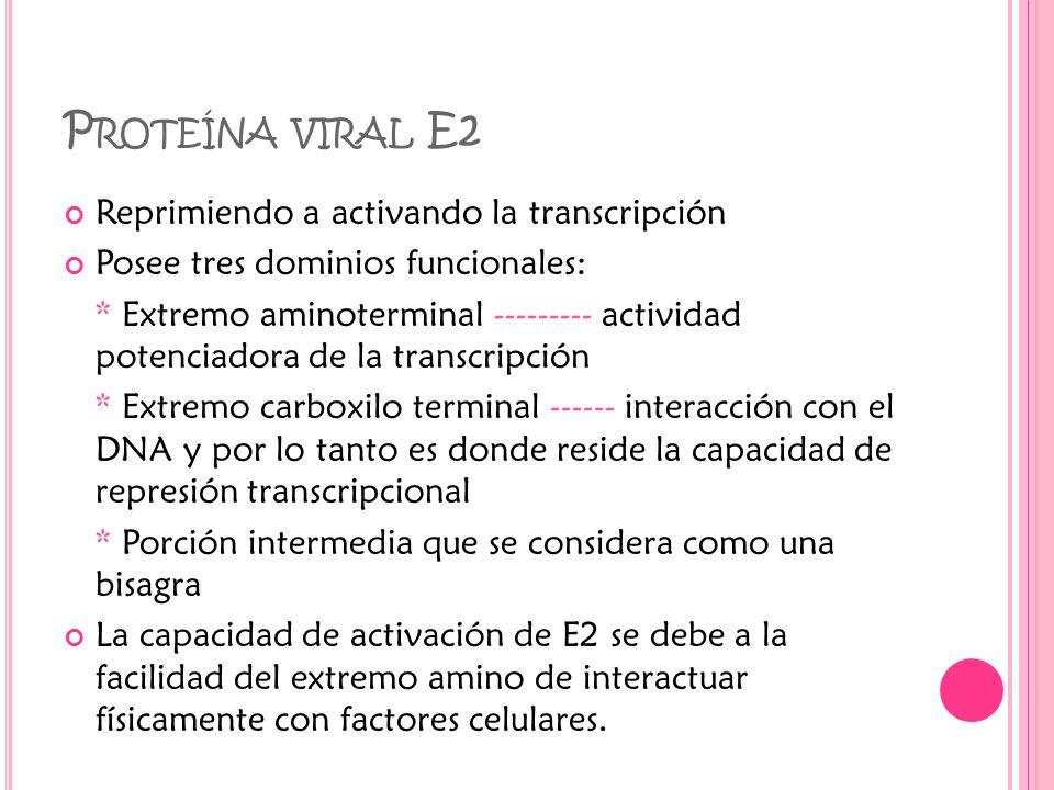 P ROTEÍNA VIRAL E2 Reprimiendo a activando la transcripción Posee tres dominios funcionales: * Extremo aminoterminal --------- actividad potenciadora de la transcripción * Extremo carboxilo terminal ------ interacción con el DNA y por lo tanto es donde reside la capacidad de represión transcripcional * Porción intermedia que se considera como una bisagra La capacidad de activación de E2 se debe a la facilidad del extremo amino de interactuar físicamente con factores celulares.