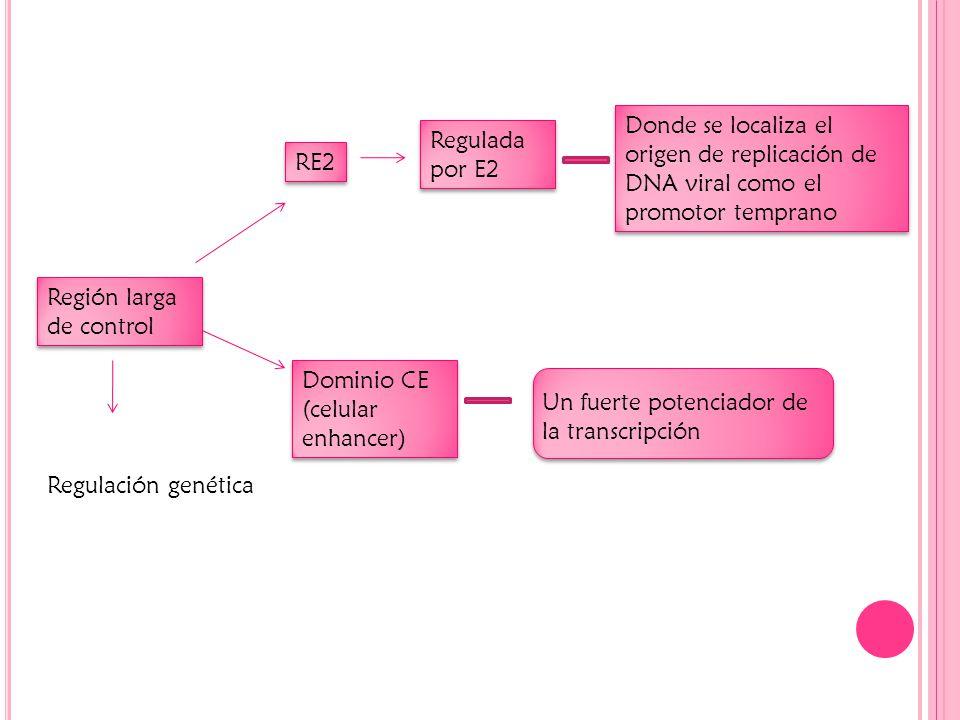 Región larga de control RE2 Regulada por E2 Donde se localiza el origen de replicación de DNA viral como el promotor temprano Dominio CE (celular enhancer) Un fuerte potenciador de la transcripción Regulación genética