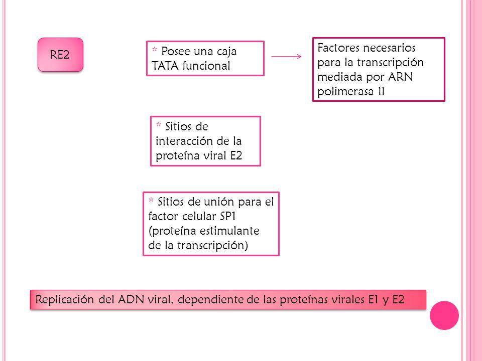 RE2 * Posee una caja TATA funcional Factores necesarios para la transcripción mediada por ARN polimerasa II * Sitios de interacción de la proteína viral E2 * Sitios de unión para el factor celular SP1 (proteína estimulante de la transcripción) Replicación del ADN viral, dependiente de las proteínas virales E1 y E2