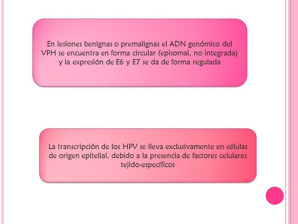 En lesiones benignas o premalignas el ADN genómico del VPH se encuentra en forma circular (episomal, no integrada) y la expresión de E6 y E7 se da de forma regulada La transcripción de los HPV se lleva exclusivamente en células de origen epitelial, debido a la presencia de factores celulares tejido-específicos