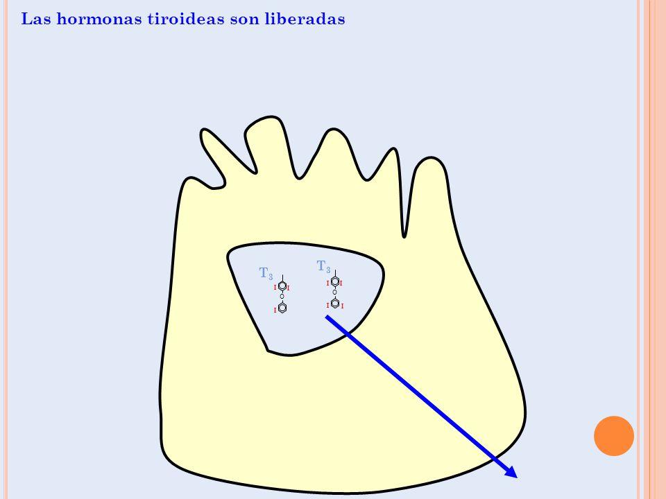 O I I I O I I I I T3T3 T3T3 Las hormonas tiroideas son liberadas