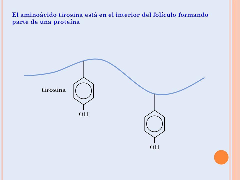 OH tirosina El aminoácido tirosina está en el interior del folículo formando parte de una proteína