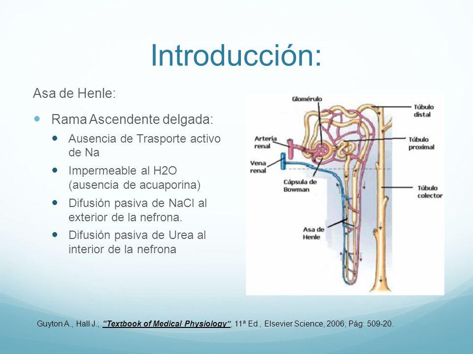 Introducción: Asa de Henle: Rama Ascendente delgada: Ausencia de Trasporte activo de Na Impermeable al H2O (ausencia de acuaporina) Difusión pasiva de NaCl al exterior de la nefrona.