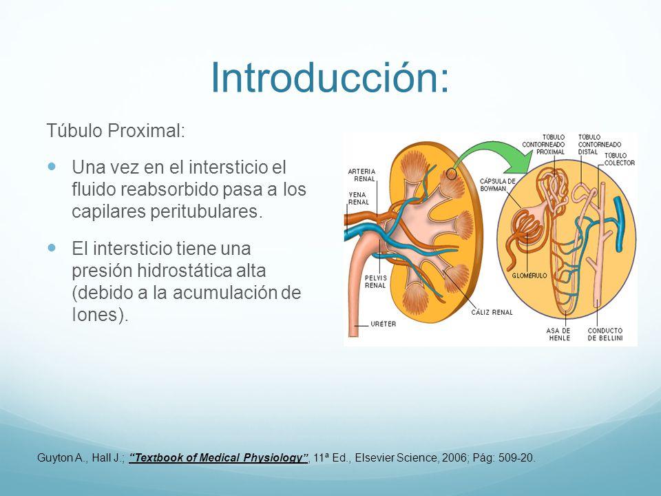 Introducción: Túbulo Proximal: Una vez en el intersticio el fluido reabsorbido pasa a los capilares peritubulares. El intersticio tiene una presión hi