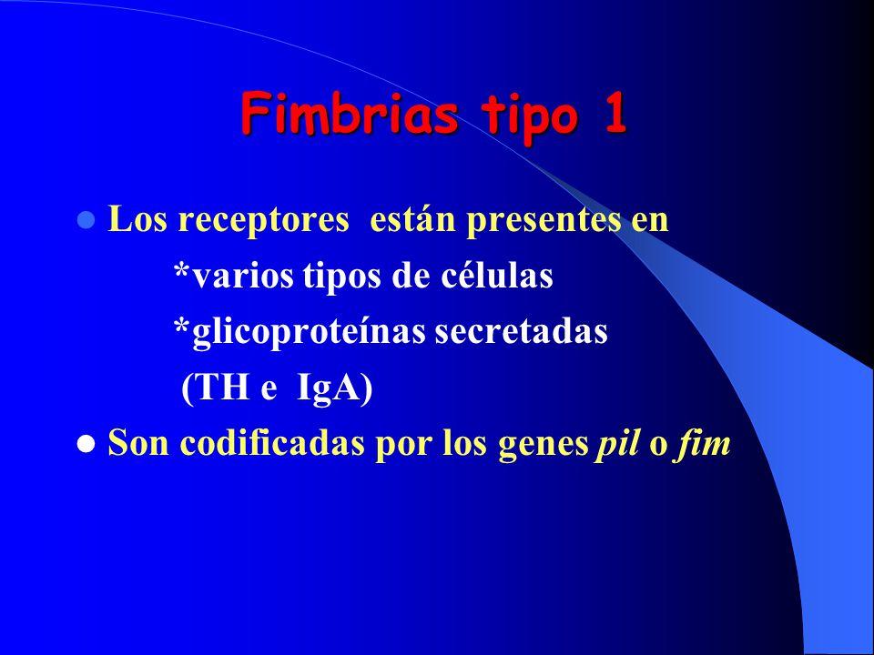 Fimbrias tipo 1 Los receptores están presentes en *varios tipos de células *glicoproteínas secretadas (TH e IgA) Son codificadas por los genes pil o f