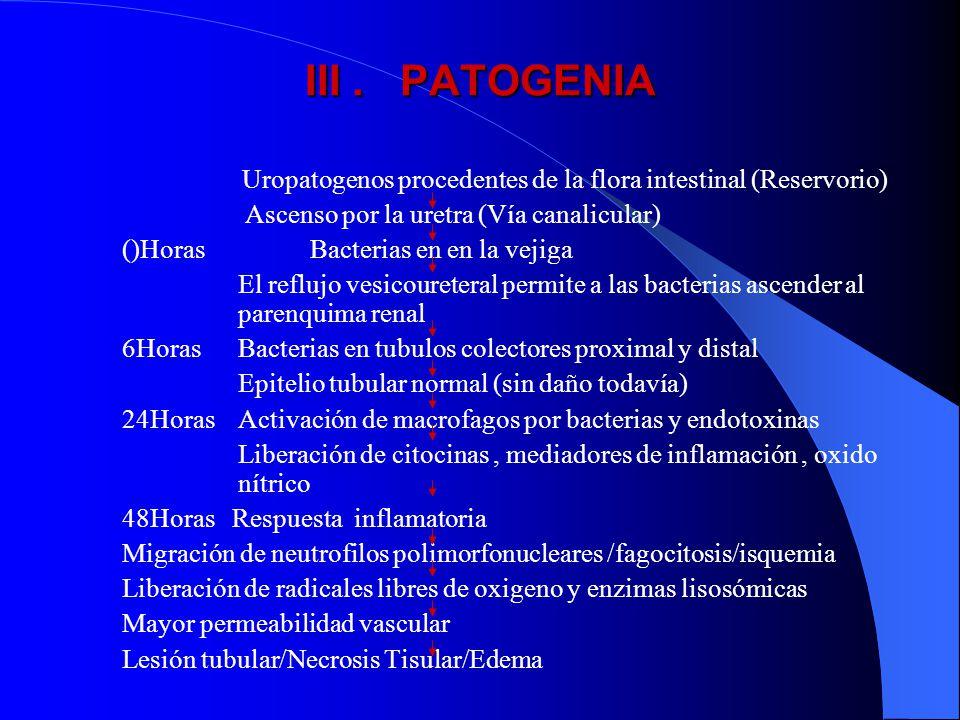 III. PATOGENIA Uropatogenos procedentes de la flora intestinal (Reservorio) Ascenso por la uretra (Vía canalicular) ()Horas Bacterias en en la vejiga