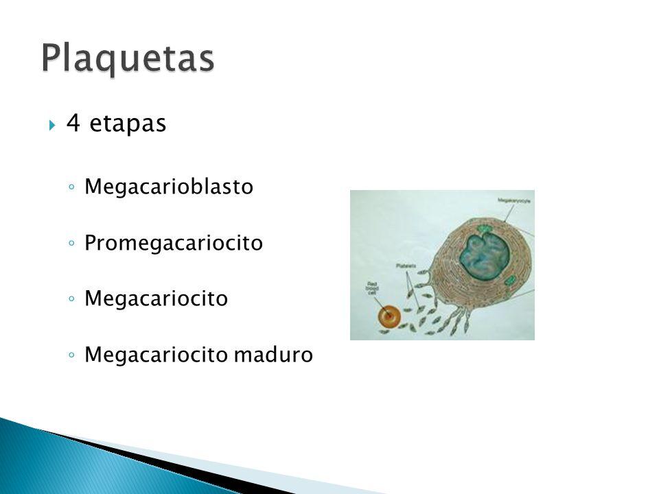4 etapas Megacarioblasto Promegacariocito Megacariocito Megacariocito maduro