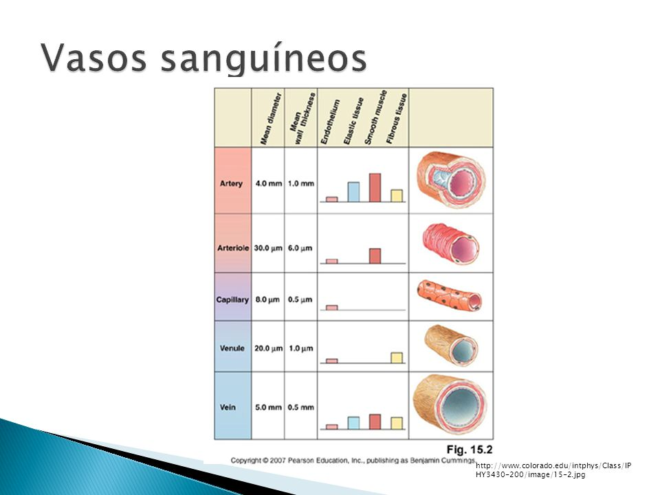 Funciones: Constricción.- Inicio inmediato, corta duración Mecanismo desconocido (Neurogénico, serotonina, tromboxano A2, endotelina) Vasodilatación.- Cels.