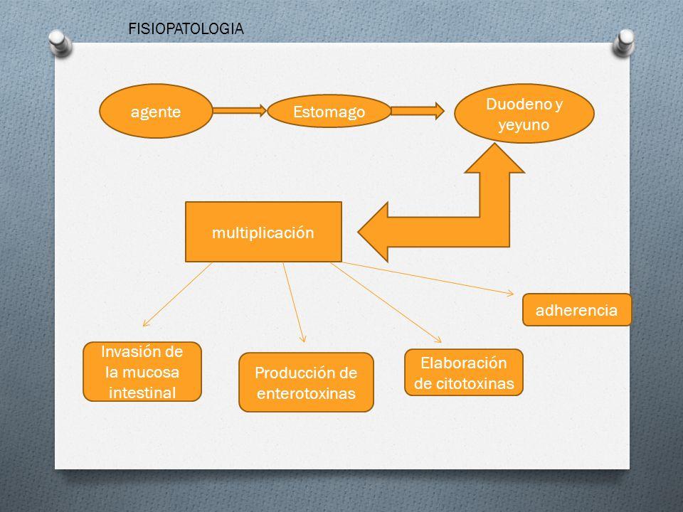 agente Estomago Duodeno y yeyuno multiplicación Invasión de la mucosa intestinal Producción de enterotoxinas Elaboración de citotoxinas adherencia FIS