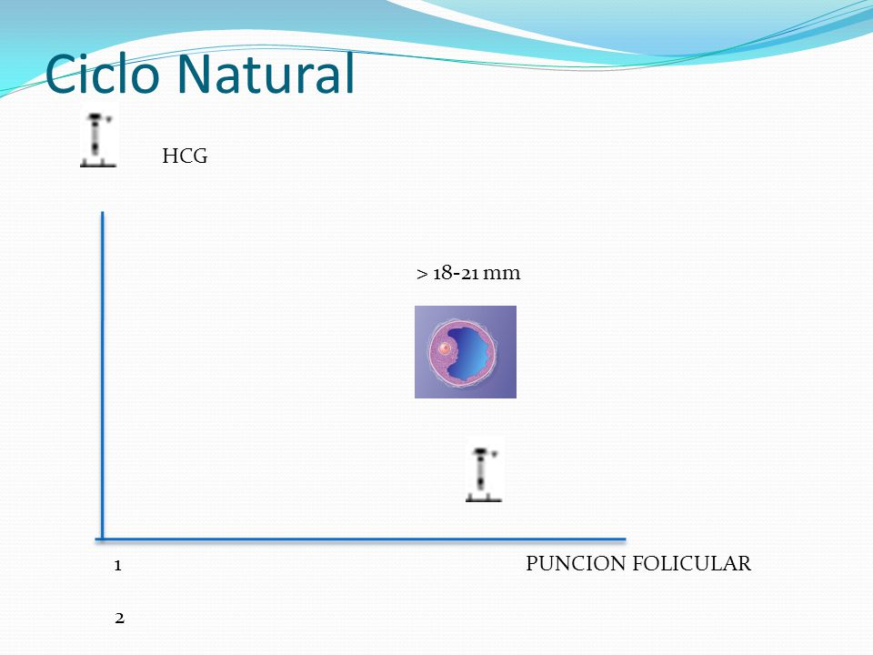 Ciclo Natural 1 2 3 4 5 6 7 8 9 10 11 12 1 2 3 4 5 6 7 8 9 10 11 12 > 18-21 mm HCG PUNCION FOLICULAR