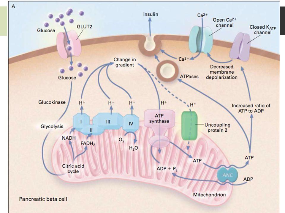Homeostasis Insulina Diabetes Mellitus