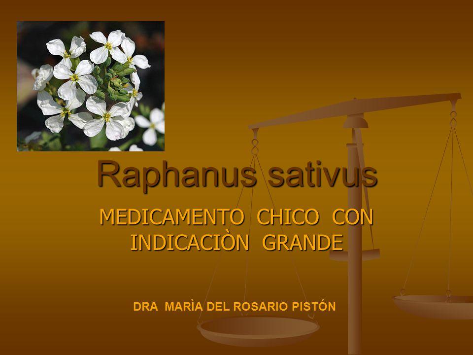 Raphanus sativus MEDICAMENTO CHICO CON INDICACIÒN GRANDE DRA MARÌA DEL ROSARIO PISTÓN