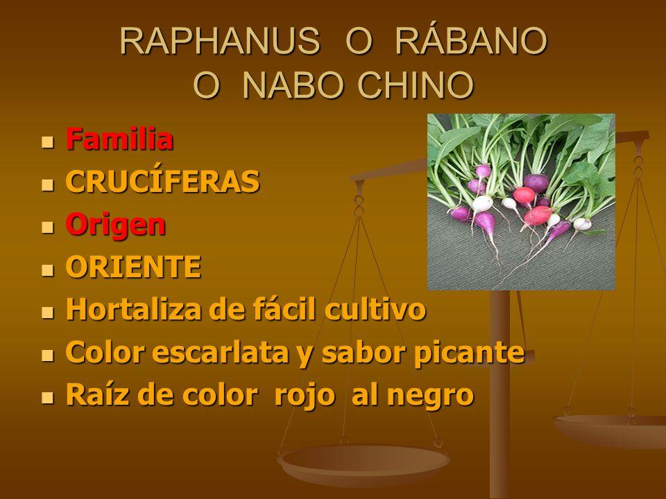 RAPHANUS O RÁBANO O NABO CHINO Familia Familia CRUCÍFERAS CRUCÍFERAS Origen Origen ORIENTE ORIENTE Hortaliza de fácil cultivo Hortaliza de fácil culti