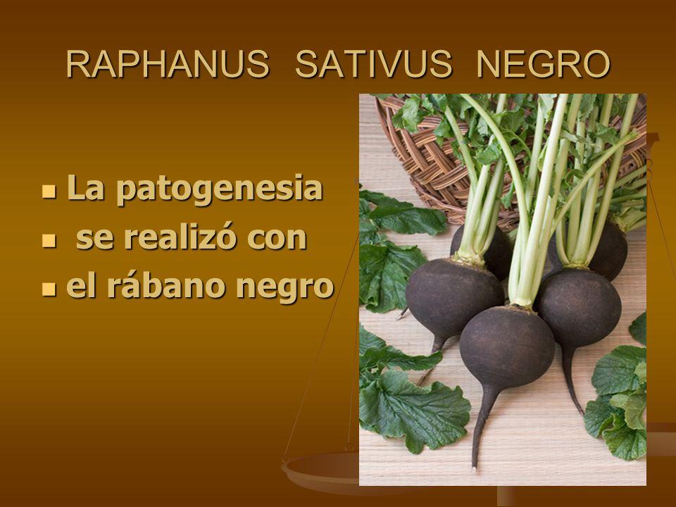 RAPHANUS SATIVUS NEGRO La patogenesia La patogenesia se realizó con se realizó con el rábano negro el rábano negro