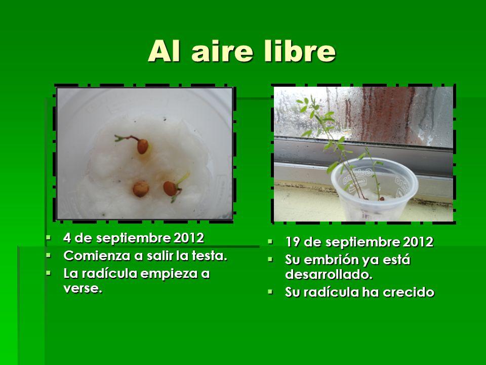 Al aire libre Al aire libre 4 de septiembre 2012 4 de septiembre 2012 Comienza a salir la testa. Comienza a salir la testa. La radícula empieza a vers