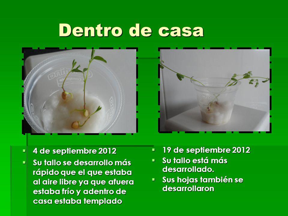 Dentro de casa Dentro de casa 4 de septiembre 2012 4 de septiembre 2012 Su tallo se desarrollo más rápido que el que estaba al aire libre ya que afuer