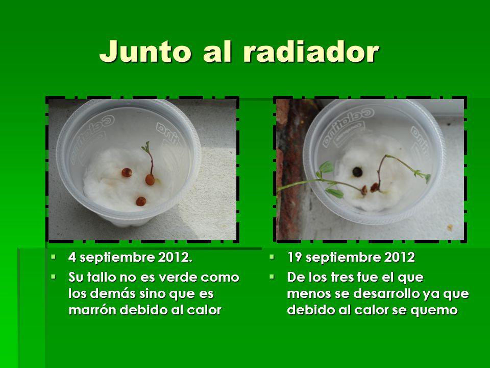 Junto al radiador Junto al radiador 4 septiembre 2012. 4 septiembre 2012. Su tallo no es verde como los demás sino que es marrón debido al calor Su ta