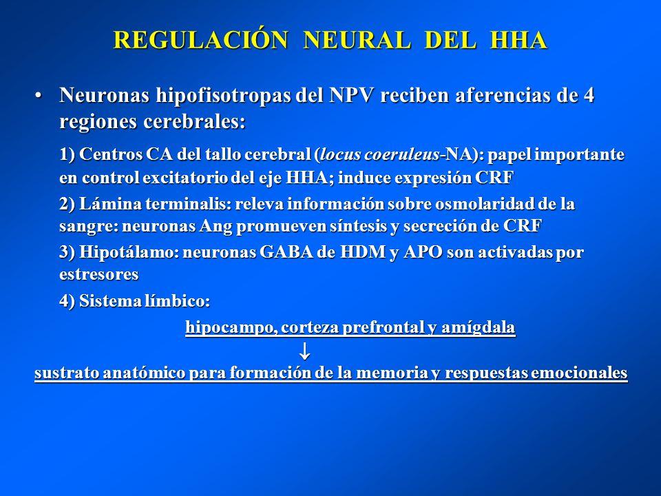 REGULACIÓN NEURAL DEL HHA Neuronas hipofisotropas del NPV reciben aferencias de 4 regiones cerebrales:Neuronas hipofisotropas del NPV reciben aferenci