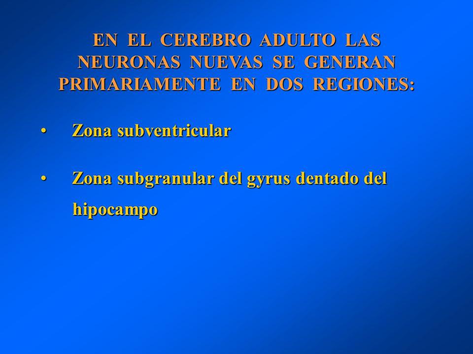 EN EL CEREBRO ADULTO LAS NEURONAS NUEVAS SE GENERAN PRIMARIAMENTE EN DOS REGIONES: Zona subventricularZona subventricular Zona subgranular del gyrus d