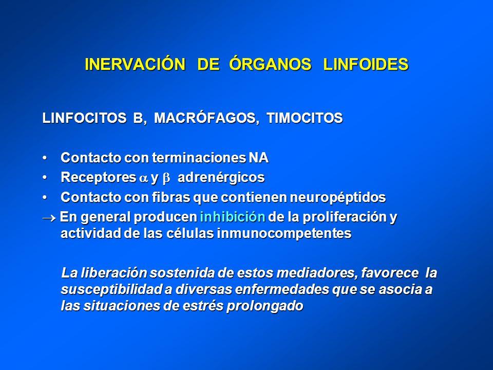 INERVACIÓN DE ÓRGANOS LINFOIDES LINFOCITOS B, MACRÓFAGOS, TIMOCITOS Contacto con terminaciones NAContacto con terminaciones NA Receptores y adrenérgic