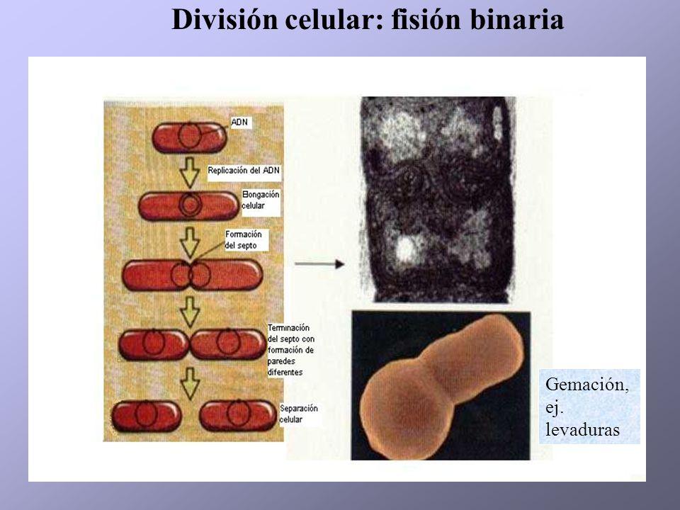 División celular: fisión binaria Gemación, ej. levaduras