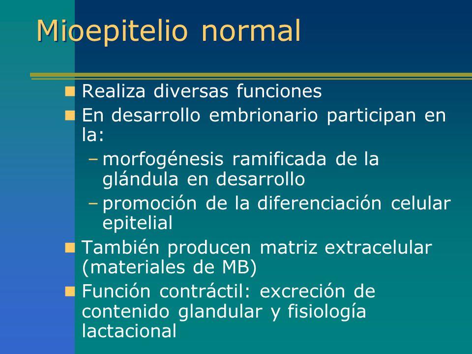 Mioepitelio normal Realiza diversas funciones En desarrollo embrionario participan en la: –morfogénesis ramificada de la glándula en desarrollo –promo