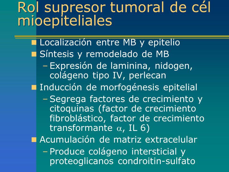 Rol supresor tumoral de cél mioepiteliales Localización entre MB y epitelio Síntesis y remodelado de MB –Expresión de laminina, nidogen, colágeno tipo