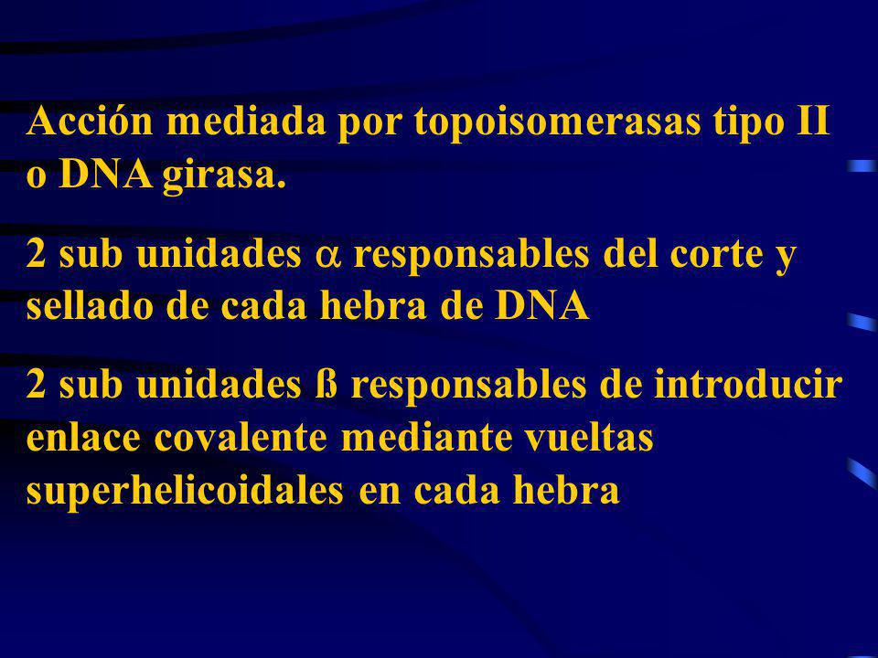 Acción mediada por topoisomerasas tipo II o DNA girasa. 2 sub unidades responsables del corte y sellado de cada hebra de DNA 2 sub unidades ß responsa