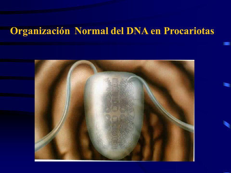 Organización Normal del DNA en Procariotas