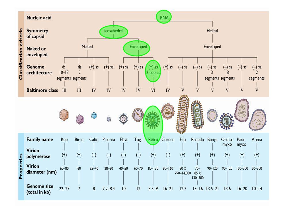FAMILIASUBFAMILIAGENEROEJEMPLOS Retroviridae OrthoretrovirinaeAlpharetrovirus Virus del sarcoma y leucemia de aves (AVL)* Betaretrovirus Virus de tumor mamario de ratón (MMTV)* Gammaretrovirus Virus relacionado con leucemia de ratón (Mo-MLV)* Deltaretrovirus Virus linfotrópico humano de células T (HTLV-1, HTLV-2)* Virus linfotrópico bovino ( BLV)* Lentivirus Virus de la inmunodeficiencia humana (HIV-1, HIV-2)* Virus de la inmunodeficiencia Simia (SIV)* Epsilonretrovirus Wally dermal sarcoma virus SpumaretrovirinaeSpumavirus Espumavirus Humano (HFV)* Clasificación de acuerdo a morfología: Tipo A: Tipo A: Partículas intracisternales, esféricas de 60-90 nm en diámetro con lumen central, consideradas como formas virales inmaduras no patógenas (A) Tipo B.